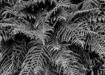 Ferns 3